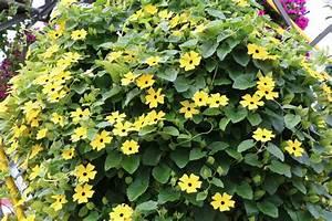 Immergrüne Kletterpflanzen Schattiger Standort : kletterpflanzen sorten immergr ne bl hende f r balkon ~ Michelbontemps.com Haus und Dekorationen