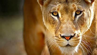 Lion Wallpapers Definition Lioness Face Desktop Lions