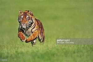 Bengal Tiger Male Running Panthera Tigris Tigris Native To ...