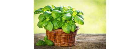 semina basilico in vaso come coltivare il basilico in vaso trucchi e consigli