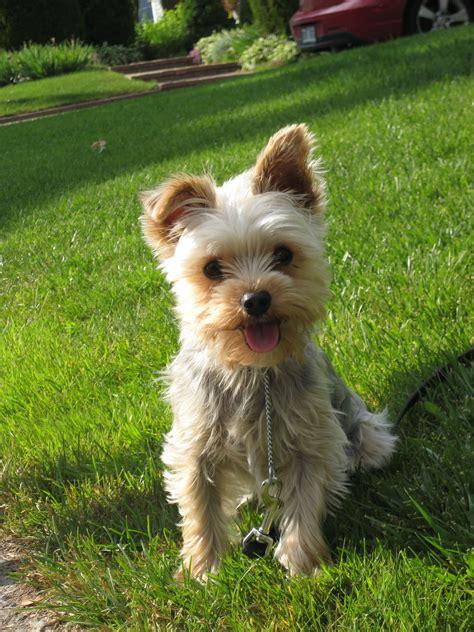 yorkshire terrier  doggy rocks