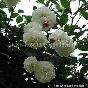 Rosen Düngen Im Frühjahr : f licit et perp tue rosen online kaufen im rosenhof schultheis rosen online kaufen im ~ Orissabook.com Haus und Dekorationen