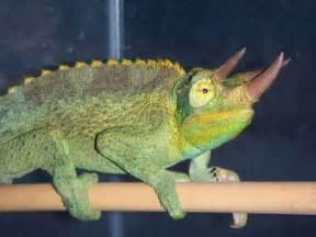 Pet Jackson Chameleon