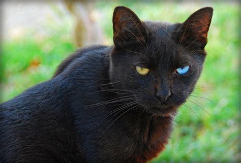 fileodd eyed black cat   viewerjpg wikimedia