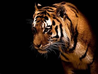 Tigres Wallpapers Imagens Resolucoes Disponiveis Fond Ecran