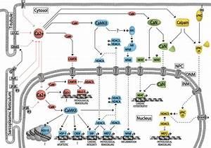 Calcium Signaling And Transcriptional Regulation In Cardiomyocytes