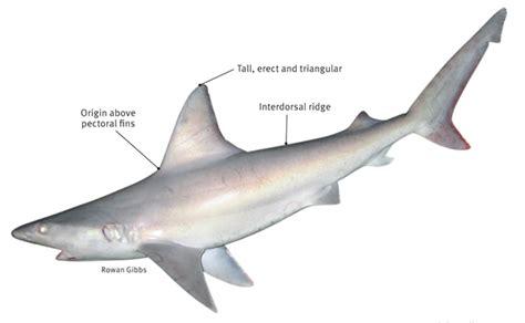 sharkin south floridas  common sharks