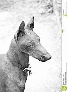 Mexican Hairless, Xoloitzcuintli Royalty Free Stock Photo ...