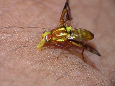 rid  yellow flies