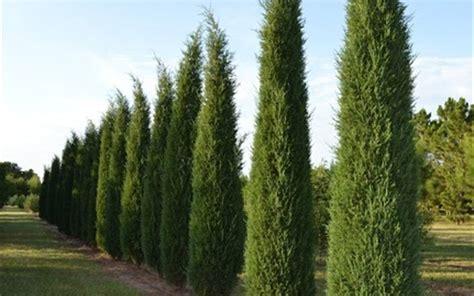 taylor juniper  gallon tree coniferous junipers