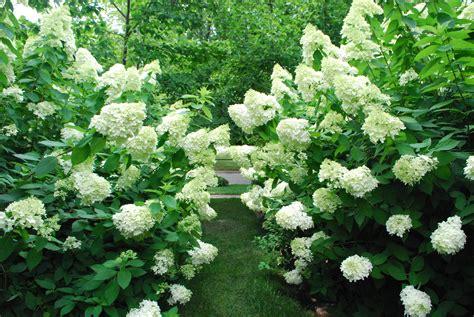 hydrangea bushes pruning hydrangeas dirt simple