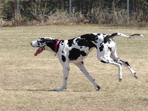 great dane breed guide learn   great dane