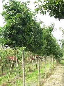 Petit Arbre Persistant : arbre feuillage persistant pour petit jardin arbre ~ Melissatoandfro.com Idées de Décoration