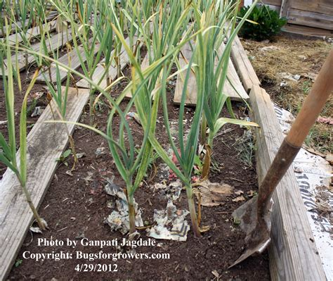bugs for growers five simple steps to grow organic garlic