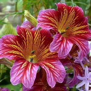 petunia flowers australian seed salpiglossis painted tongue