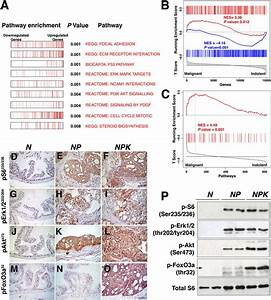 Signaling Pathway Activation In Npk Mouse Prostate Tumors