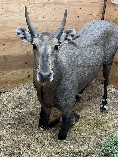 Bull Nilgai Wildlife Filed Under Animals
