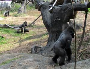 Gorilla Standing Upright