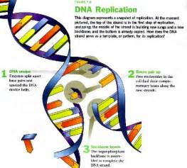DNA Replication Steps Diagram