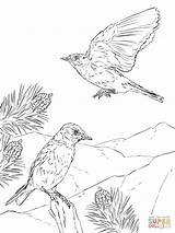 Coloring Bluebird Pages Mountain Woodland Birds Eastern Printable Animals Print Creature Realistic Drawing Drawings Recommended sketch template