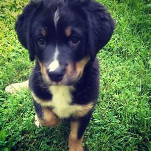 Bernese Mountain Dog Golden Lab Mix