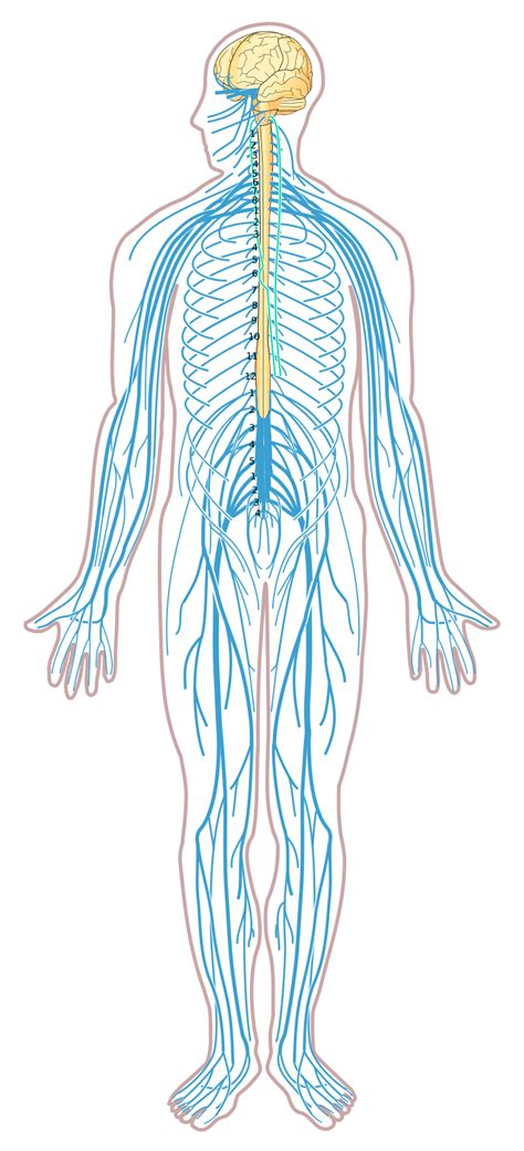 Human Diagram Unlabeled file nervous system diagram unlabeled svg wikimedia commons