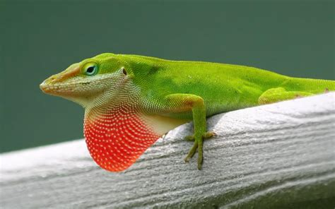 The Green Anole, Your Resident Backyard Lizard, Is Being