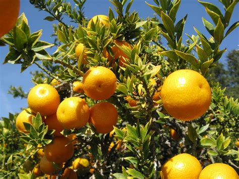 pohon jeruk bhutan 39 s oranges threatened by disease and climate change
