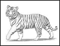draw cartoon tigers realistic tigers drawing