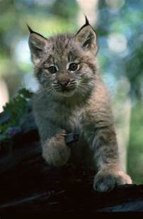 lynx cats lynx cat images lynx hd wallpaper and background photos