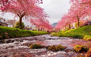 cherry blossom tree wallpapers free