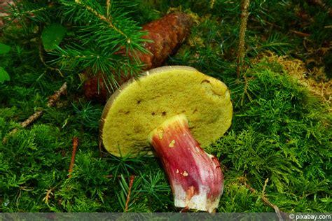 Pilze Garten Essbar by Beliebte Waldpilze Essbare Pilze Erkennen Fotos