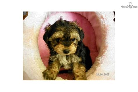 yorkiepoo yorkie poo puppy for sale near north platte