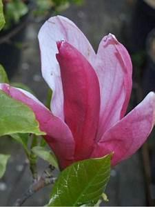 Fleur De Magnolia : magnolia fleurs de lis 39 nigra 39 magnolia liliflora le ~ Melissatoandfro.com Idées de Décoration