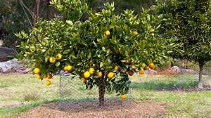 Best Backyard Citrus Care