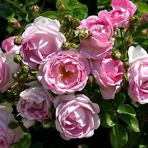 Rückabwicklung Kaufvertrag Immobilie : kletterrosen schneiden rosenbogen kletterrose schneiden rosen schneiden in 4 schritten obi ~ Frokenaadalensverden.com Haus und Dekorationen