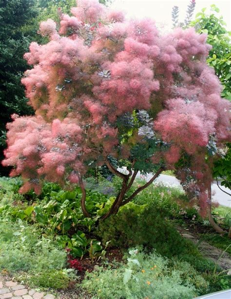 smoke tree 25 best ideas about cotinus on pinterest arbusti