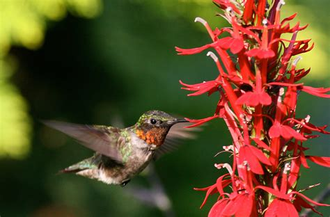 rubythroatedhummermaleatflowersjpg