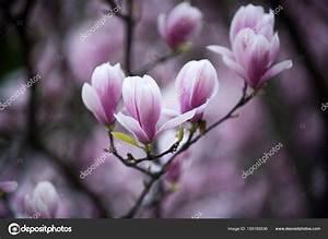 Rosa Blüten Baum : magnolie baum bl te mit rosa bl ten am zweig im garten stockfoto 155165536 ~ Yasmunasinghe.com Haus und Dekorationen