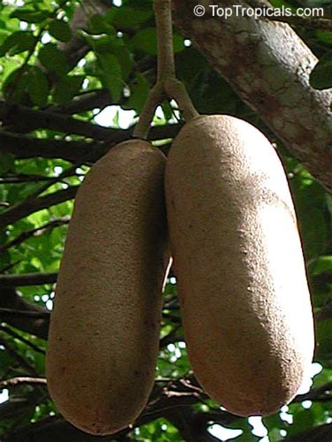 kigelia pinnata sausage tree toptropicalscom