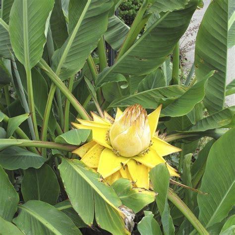 planter un bananier bananier planter et tailler ooreka