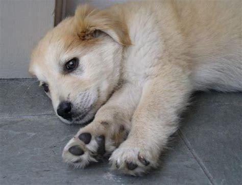 alaskan malamute yellow lab mix puppy random