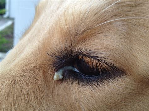 Dog Eye Discharge Causes Treatments Home Remedies Pictures