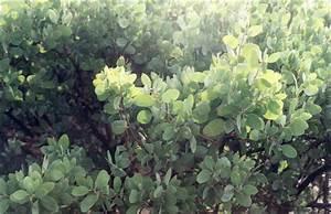 Arctostaphylos Manzanita  U0026 39 Dr  Hurd U0026 39
