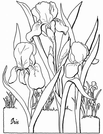 Coloring Adult Iris Pages Printable Flower Floral