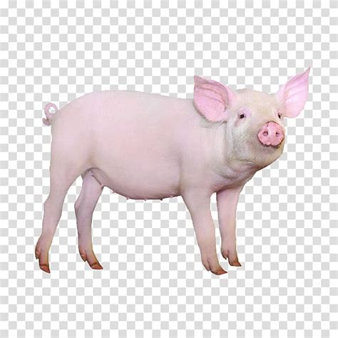 And i've tried $2 deoterent because it does help some. Pink pig, Large White pig Gxc3xb6ttingen minipig Hogs and pigs , pig transparent background PNG ...