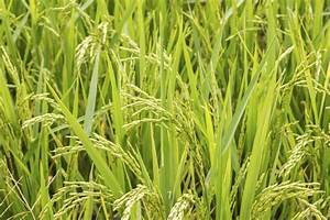 Can You Grow Your Own Rice  U2013 Tips For Planting Rice
