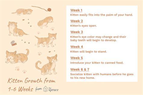 kitten development     weeks  life
