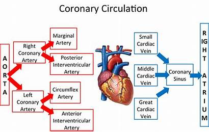 Circulation Anatomy Coronary Systemic Definition Pathway