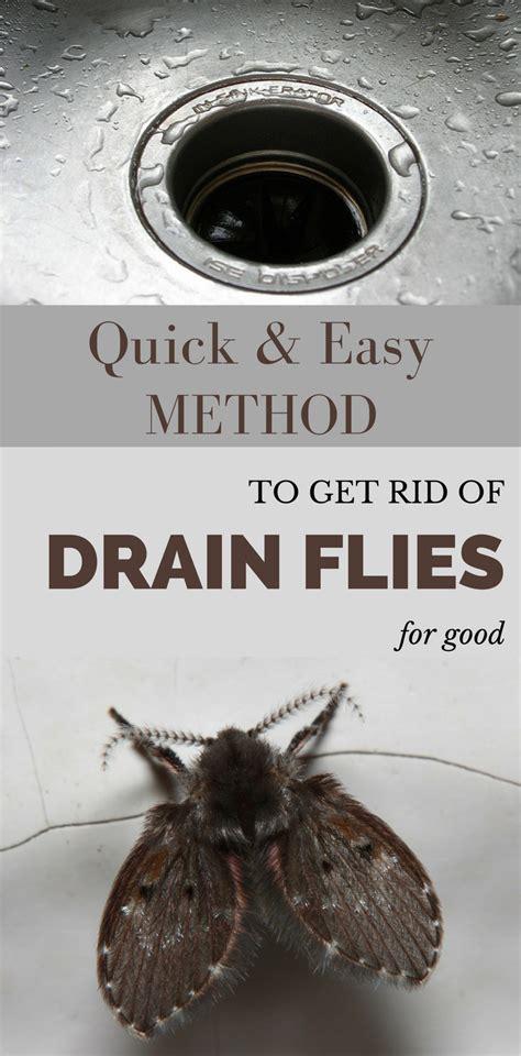 quick  easy method   rid  drain flies  good